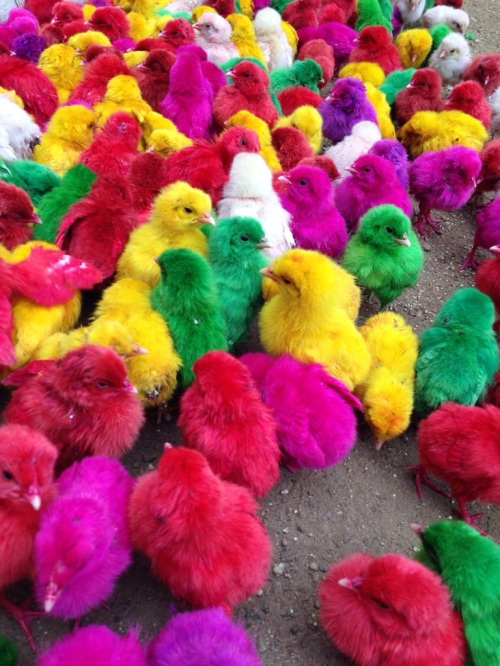 Chicks for sale in Northern Madurai